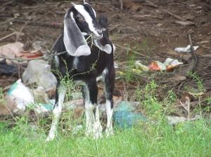 Chèvres (1)