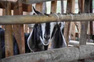 Visite des chèvres (1)