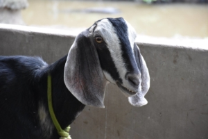 Visite des chèvres (3)